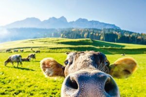 funny_cow_at_the_kaisergebirge_mountain