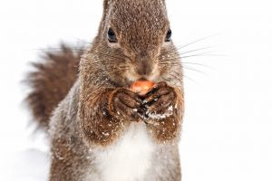 young_fluffy_red_squirrel_standing_on_snow_and_eating_nut