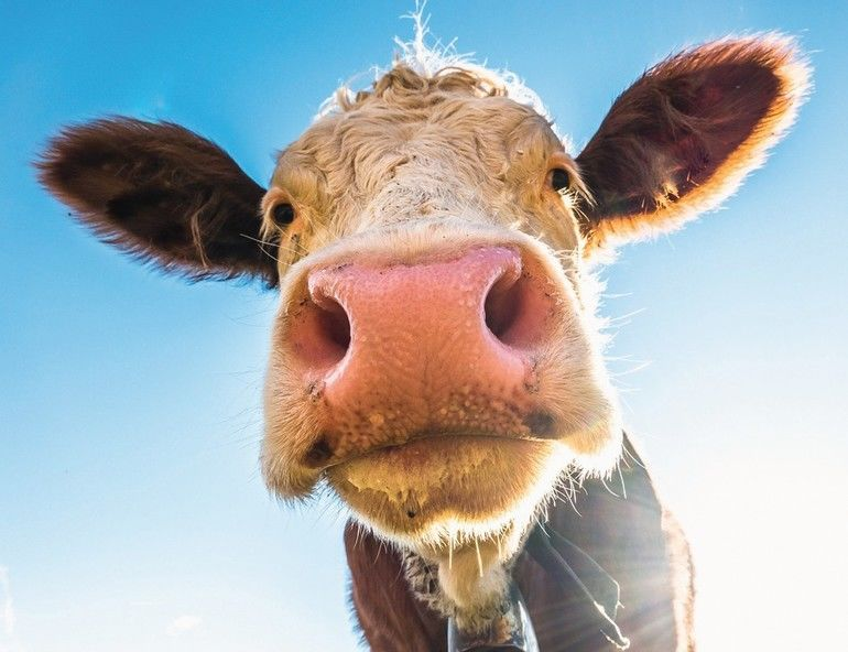 funny_cow_at_the_european_alps_-_bavaria